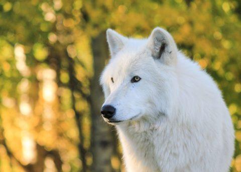 wolfdog-sanctuary