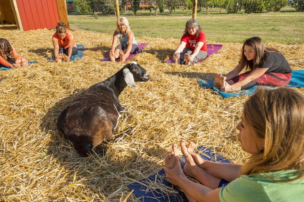 Goat Yoga Experience Gifts Saskatchewan Downward Yoga